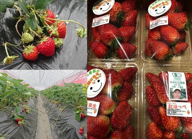 いちご_かみむら農園