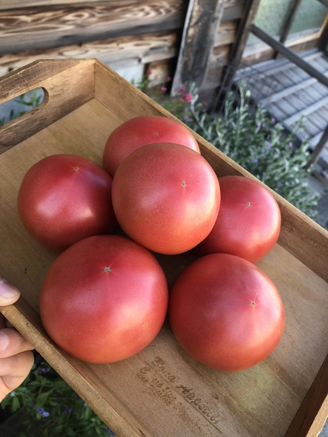 畑のあかりトマト2021-0828